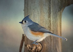A Tufted Titmouse Perched In The Tree Just Clearing The SHadows