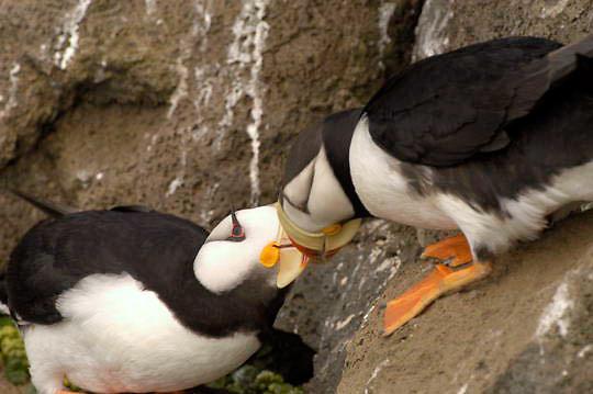 "Horned Puffin (Fratercula corniculata) In breeding plumage, beak to beak, """"kissing"""" on rocky cliff. St. Paul, Pribilof Islands. Alaska."