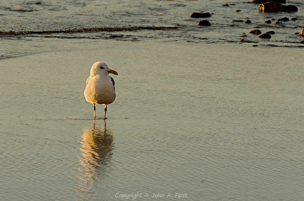 We spent several days on Cape Ann in Gloucester, MA.  Our motel was on the beach making these sunrise shots very accessible.  This gull is just standing, enjoying the start of a beautiful day.  This shot has some wonderful golden highlights as well as an interesting reflection in the water.  The bird appears to be looking at you.
