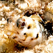 Roughhead Blennyu inhabit worm holes in dead coral rock  on or near reefs, perch with head and forebod extended Tropical West Atlantic; picture taekn Key Largo, FL.
