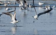 Laughing Gull, Larus atricilla