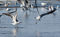 Laughing gulls, Larus atricilla, fighting over a fish at the mouth of the Tarcoles River, Costa Rica