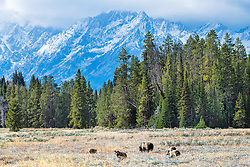 It is a grizzly world out there; the real Bear World of the Grand Tetons. The Queen of the Tetons, Grizzly 399 and her brood of quadruplets.  The real best of the old west of Jackson Hole Wyoming.<br /> <br /> Contact for custom print options - dh@theholepicture.com<br /> <br /> Contact for custom print options - dh@theholepicture.com