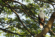 Thursday 14th August 2014: A brahminy kite (Haliastur indus) sits in a tree in the Fort Kochi area.