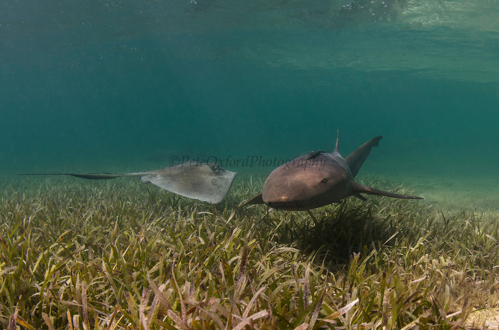Nurse Shark (Ginglymostoma cirratum) & Southern Stingray (Dasyatis americana) over Turtle grass (Thalassia testudinum)<br /> Lighthouse Reef Atoll<br /> Belize Barrier Reef. Second largest barrier reef system in the world.<br /> BELIZE, Central America