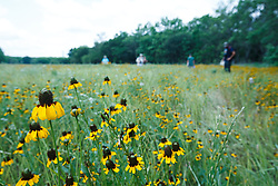 Hikers on trail through field of clasping coneflower wildflowers, Big Spring historical and natural area, Great Trinity Forest, Dallas, Texas, USA