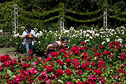 A woman smells the roses in Queen Mary's Gardens in Regents Park. In the Inner Circle of the park is an incredible Rose Garden with hundreds of varieties. It is one of those secret special places in London where people come to relax.