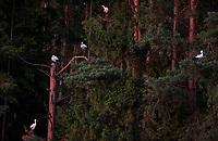 20.08.2015 wies Rozedranka Nowa woj podlaskie n/z bociany biale ( Ciconia ciconia ) siedza na drzewach w lesie fot Michal Kosc / AGENCJA WSCHOD