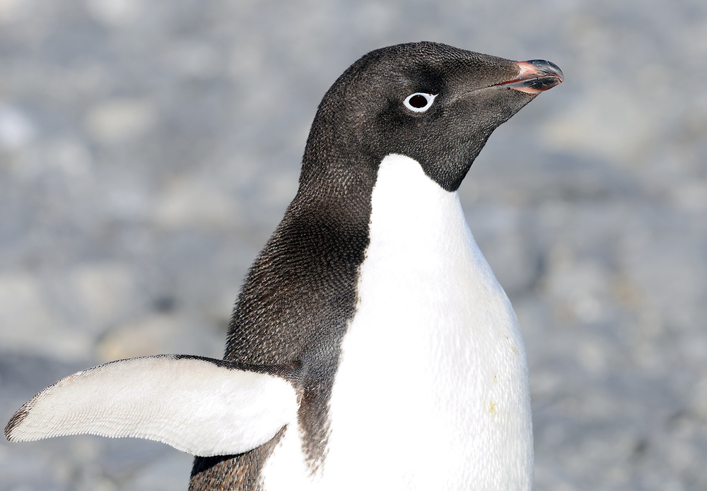 Portrait of an Adélie penguin (Pygoscelis adeliae). Hope Bay, Antarctica. 02Mar16