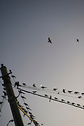 Grackles ammassing at dusk on telephone wires