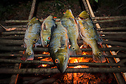 Camp cooking<br /> Peacock bass (Cichla ocellaris)<br /> Rewa Head River trip<br /> Rainforest<br /> GUYANA. South America