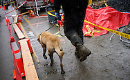 Nexus the rescue dog is walked to the decontamination area at the mudslide after searching for victims in Oso, Washington March 30, 2014. Local churches offered prayers on Sunday for the victims of last week's devastating mudslide in Washington state and words of solace for grieving families and friends, many of whom are still waiting for news of missing loved ones.  REUTERS/Rick Wilking (UNITED STATES)