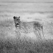 Lion (Panthera leo), Ngorongoro Crater, Ngorongoro Conservation Area, Tanzania, East Africa
