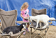 Cornwall, New York  - A young girl watches dairy goats play on chairs at Edgwick Farm in Cornwall on April 15, 2012. The farm uses milk from the goats to produce artisan cheese.