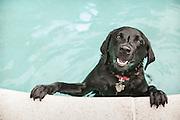 pet portrait, pet photographer, pet photography, Boston, MA, photographer, swimming pool, black lab