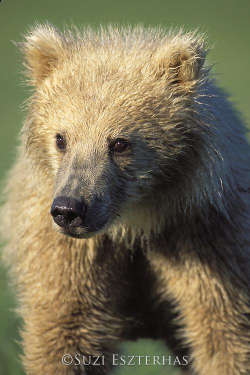 Alaskan Brown Bear<br /> Ursus arctos middendorffi<br /> Blonde yearling cub<br /> Katmai National Park, Alaska