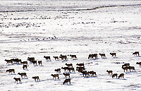 A group of elk move along the southern end of the National Elk Refuge on Thursday morning. Refuge officials are in the middle of their annual count to determine the approximate size of the Jackson Elk Herd.