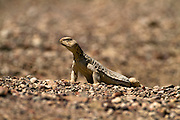 Ornate Mastigure (Uromastyx ornata) is one of the most colorful members of the genus in Israel, with lengths of up to 37 cm. Ornate Mastigure can be found on rocky areas in Egypt, Israel and Saudi Arabia Photographed in Israel in March
