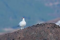 Ptarmigan Lagopus muta, adult male standing on boulder, Cairngorm Mountain, Scotland, February