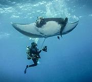 Giant Pacific Ocean Manta Ray, in Revillagigedo (Socorro), MX