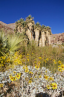 blooming yellow brittle bush on the Palm Canyon Nature Trail with Fan Palm Tree Oasis, Anza-Borrego State Park, California