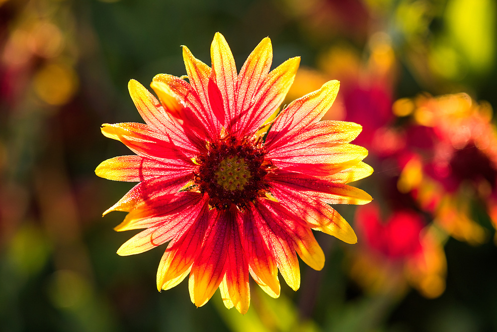 Indian blanket macro, double spread in Wildflower Magazine spring 2019. Johnson City, Hill Country, Texas