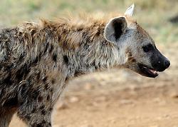 24-10-2008 REPORTAGE: KILIMANJARO CHALLENGE 2008: TANZANIA <br /> De dag van De Ngorongoro-krater, de grootste intakte caldera (ingestorte vulkaankegel) ter wereld. Hij bevindt zich ten noordwesten van Arusha in Tanzania / Wild, dieren, Natuur, vogels, Hyena<br /> ©2008-FotoHoogendoorn.nl
