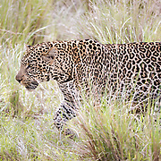 """Leopard walking through the high grass in the Maasai Mara located in Kenya, Africa.<br /> <br /> For all details about sizes, paper and pricing starting at $85, click """"Add to Cart"""" below."""
