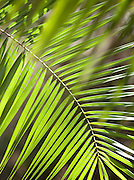 Palm ferns, south-east Kenya, Kenya
