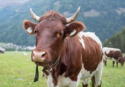 THEMENBILD - Deutsche Wanderin stirbt nach Kuh-Attacke, Landwirt muss mehr als 180.000 Euro bezahlen. Mit massiven finanziellen Folgen hat ein Bauer zu kämpfen, dessen Kuhherde eine deutsche Hundehalterin zu Tode getrampelt hat. Ein Gericht in Österreich sorgte mit seinem Urteil für Aufsehen. Die 45 Jahre alte Hundehalterin aus Rheinland-Pfalz war im Sommer 2014 im Tiroler Stubaital von der Kuhherde, die offenbar die Kälber vor dem Hund schützen wollte, zu Tode getrampelt worden. Die Frau hatte laut Gericht die Hundeleine mit einem Karabiner um die Hüfte fixiert. Bild Aufgenommen am 06.10.2018 // German wanderer dies after cow attack, farmer must pay more than 180,000 euros. With massive financial consequences has a farmer to fight, whose cow herd has trampled a German dog owner to death. A court in Austria caused a stir with his judgment. The 45-year-old dog owner from Rheinland-Pfalz was trampled to death in summer 2014 in the Tyrolean Stubai Valley by the herd of cattle, who apparently wanted to protect the calves from the dog. The woman had loud court the dog leash with a carabiner around the waist fixed. Picture taken on 06.10.2018. EXPA Pictures © 2019, PhotoCredit: EXPA/ Johann Groder
