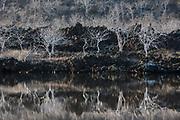 Palo Santo trees (Bursera graveolens)<br /> Punta Cormorant, Floreana<br /> Galapagos <br /> Ecuador, South America