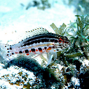 Lantern Bass inhabit areas of coral rubble and sea grass beds in Tropical West Atlantic; picture taken Grand Cayman.