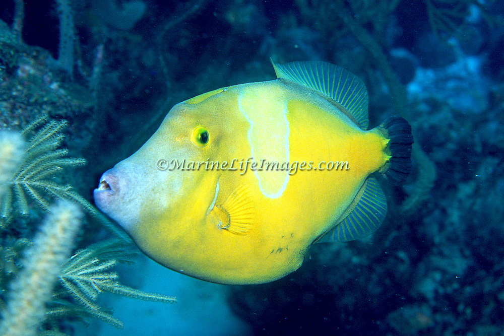 Whitespotted Filefish swim slowly over and around reefs in Tropical West Atlantic, often in pairs with one displaying white-spot pattern; picture taken Belize.