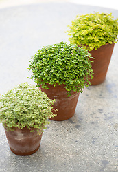 Helxine soleirolii in terracotta pots. Baby's tears, Mind-your-own-business