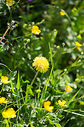 Dandelions, Taraxacum officinale - as part of a hedgerow in summertime in Cornwall, UK