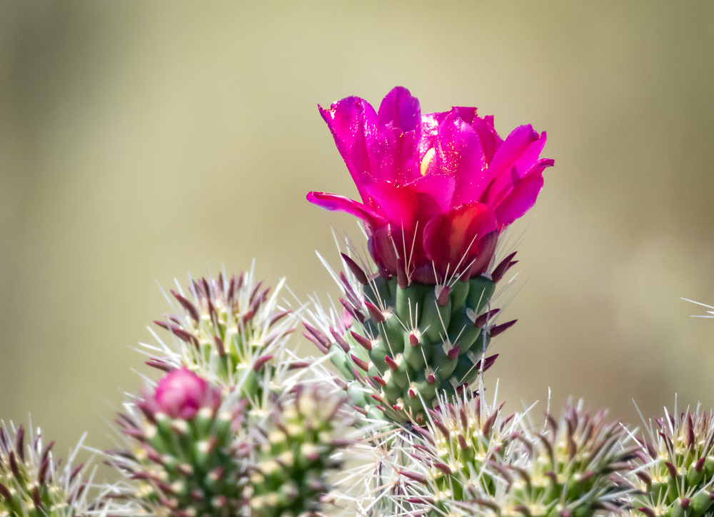 Beautiful but potentially dangerous, cholla buds are edible