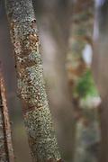 Script lichen Graphis scripta growing on hazel (Corylus avellana), near Puikule, Vidzeme, Latvia Ⓒ Davis Ulands | davisulands.com