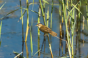 Sedge Warbler, Acrocephalus schoenobaenus, Stodmarsh National Nature Reserve, UK, feeding, reedbed, ditch, adult, summer