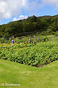 Gardeners in the Kitchen Garden area with Solanum tuberosum - Potatoes, Calendula – pot marigolds, Brassica oleracea 'Red Drumhead' - Red Cabbage and Lathyrus – Sweet peas on wigwams in The Victorian Walled Garden at Kylemore Abbey. Only plants and flowers that were introduced to Ireland before 1901 are used in the gardens. The 6 acre garden is to the west of the Abbey originally known as a castle when it was built by Mitchell and Margaret Henry in the 1850's. The garden is on a south slope at the foot of Duchruach Mountain and facing Diamond Hill. It was chosen as the warmest and brightest spot on the estate with a mountain stream providing water. It is now a Benedictine community; open seven days a week all year round. The Abbey is located in Connemara in the west of Ireland. August