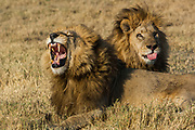 Lions (Panthera leo) These are the Duba pride males. Duba Plains. Okavango Delta<br /> BOTSWANA. Southern Africa.<br /> THE INTERACTION BETWEEN THESE LIONS AND THE LARGE BUFFALLO HERD AT DUBA HAS RECENTLY BEEN THE SUBJECT OF A NATIONAL GEOGRAPHIC DOCUMENTARY FILMED BY DEREK AND BEVERLEY JOUBERT.