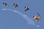Peregrine (Falco peregrinus) entering a short stoop. Surrey, UK.