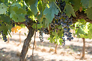 Nero d'Avola grapes in the shade of a grapevine, Sicily, Italy.