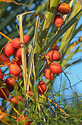 Closeup of dates growing on on a palm tree