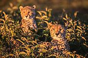 A hunting cheetah with her cub  (Acinonyx jubatus) uses deep vegetation as cover during the calving season, Ndutu, Ngorongoro Conservation Area, Tanzania, Africa