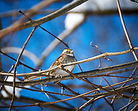 White-throated Sparrow wondering when the snow will go away, and it will be spring again. Image taken with a Nikon D300 camera and 18-200 mm VR lens (ISO 200, 200 mm, f/5.6, 1/800 sec).