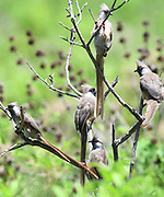 A group of speckled mousebirds (Colius striatus). Arusha National Park. Arusha, Tanzania.
