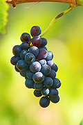 A small bunch of Mourvedre grapes left over after the harvest. Chateau Mourgues du Gres Grès, Costieres de Nimes, Bouches du Rhone, Provence, France, Europe