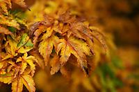 The Autumn splendor of leaves turning golden.