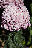 Chrysanthemums are also called mums or chrysanths.  They are flowers of the family Asteraceae native to Asia and also Europe.  Many horticultural varieties exist but note that cultivated mums often take decorative forms, unlike their wild cousins.