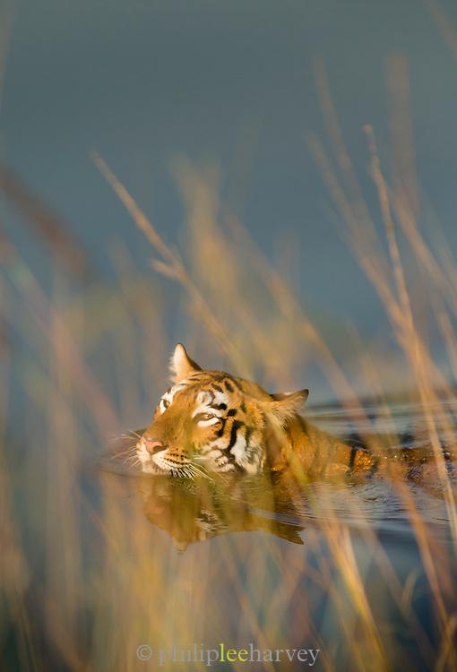 Close-up of Tigress swimming in lake, Tadoba nation Park, India